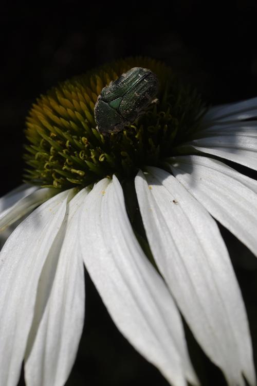 echinacea_16_6_27_2.jpg