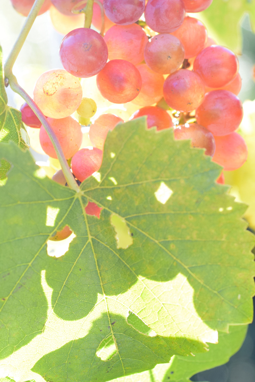 grape_juice_6.jpg