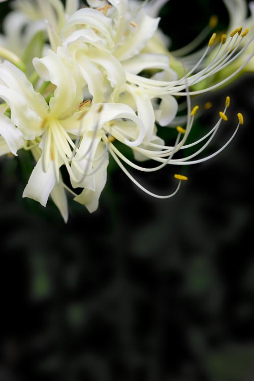 higanbana_16_9_25_4.jpg