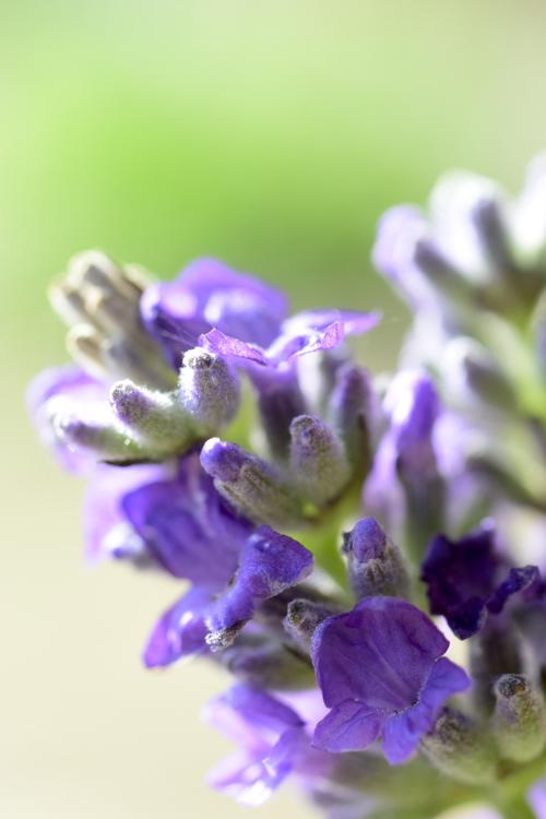 lavender16_6_6_2.jpg