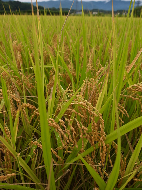 rice_16_9_22.jpg