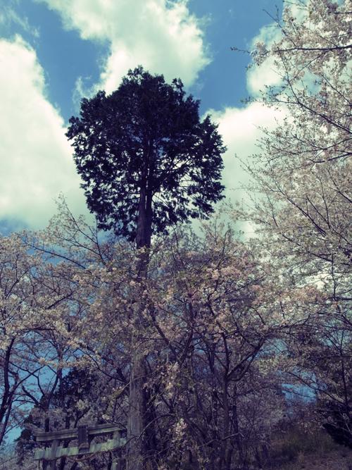 sakura_164_11_1.jpg