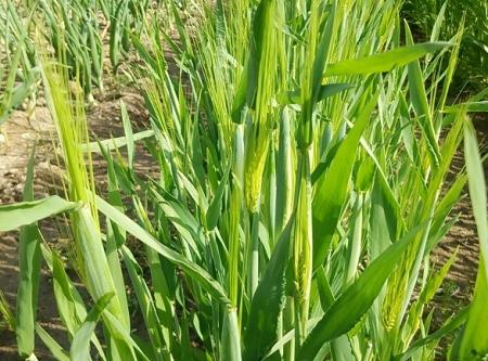 大麦 出穂