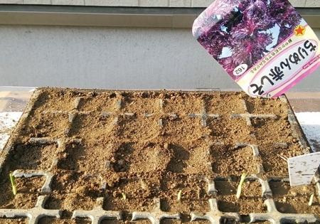 赤紫蘇播種1回目