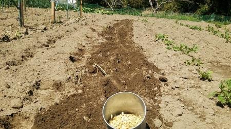 燕麦 蒔き溝
