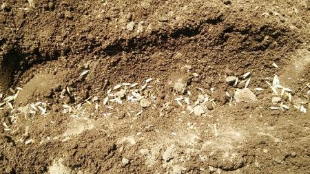 燕麦の種まき