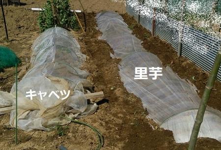 里芋植えつけ ビニルマルチ