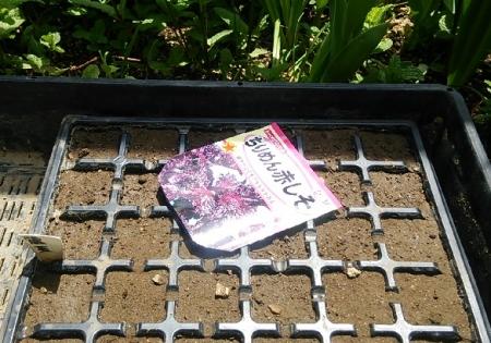 赤紫蘇播種