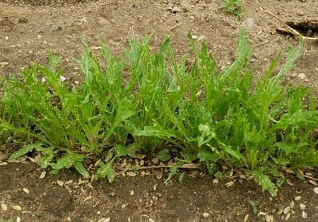 水菜 3月播種