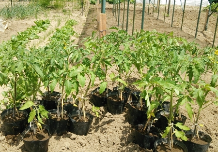 トマト苗 定植