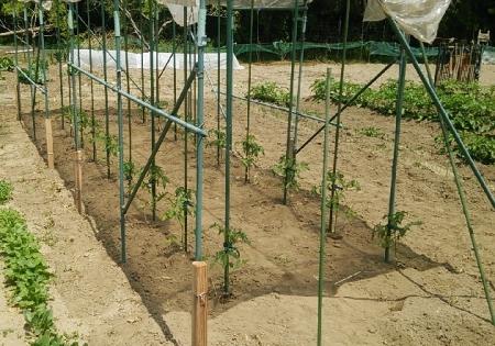 トマト定植直後