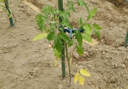 トマト定植後 窒素飢餓?