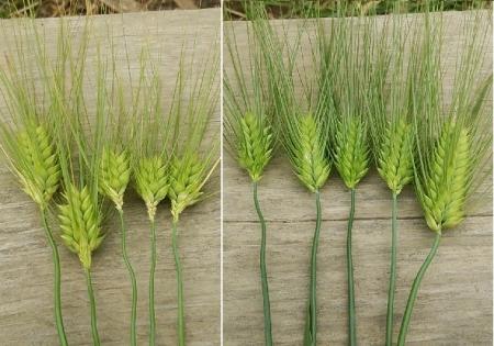 大麦 追肥の影響