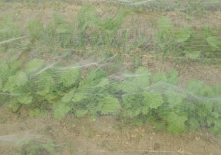 小蕪4月蒔き