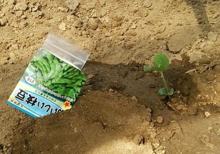 枝豆 2回目 播種