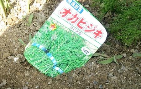 オカヒジキ播種
