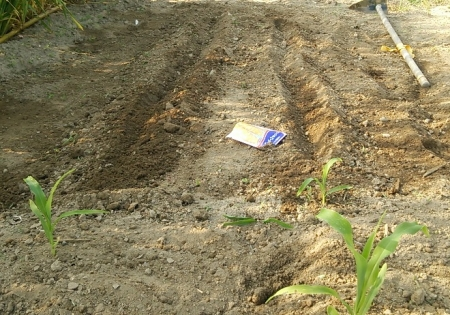 トウモロコシ 第二弾播種