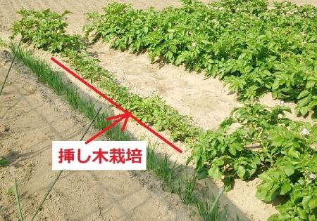 ジャガイモ 挿し木栽培