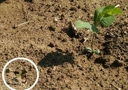 枝豆の芽が食べられた
