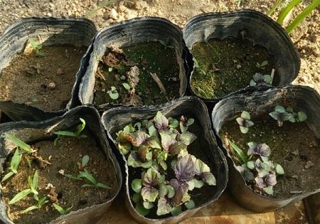 紫蘇 育苗