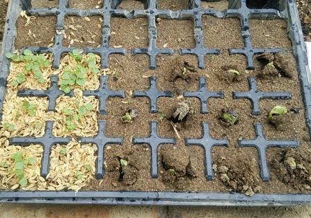 枝豆3作目 発芽