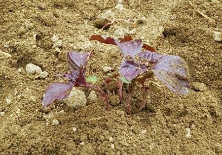 紫蘇 定植