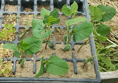 枝豆第三弾定植苗