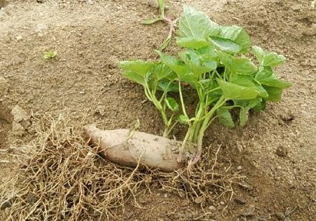 サツマイモ 自家製苗
