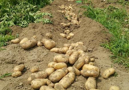 ジャガイモ収穫 メークイン