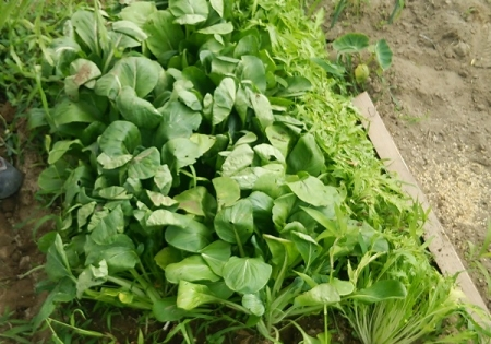 水菜・便利菜 収穫終了