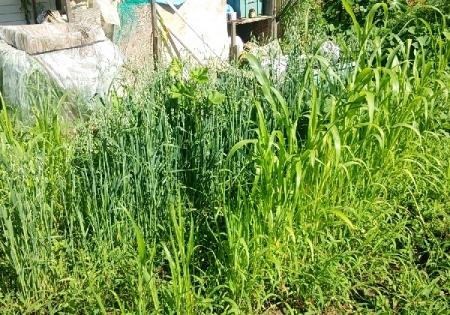 ソルゴー燕麦栽培