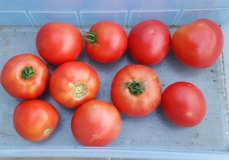 トマト 収穫