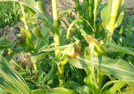 トウモロコシ第二弾収穫