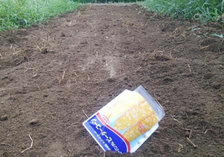 トウモロコシ播種 7月末