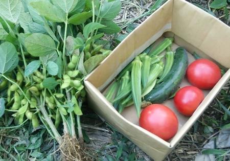 7月31日の収穫