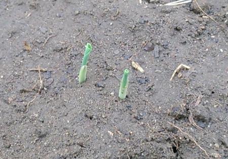 トウモロコシ発芽