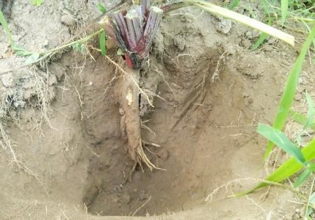 ゴボウ試し掘り