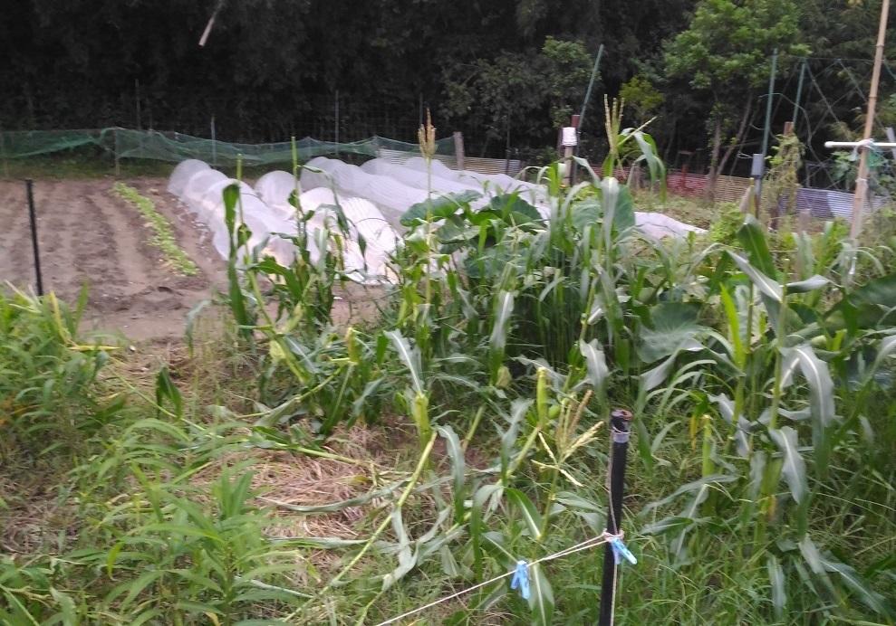 トウモロコシ 台風通過後
