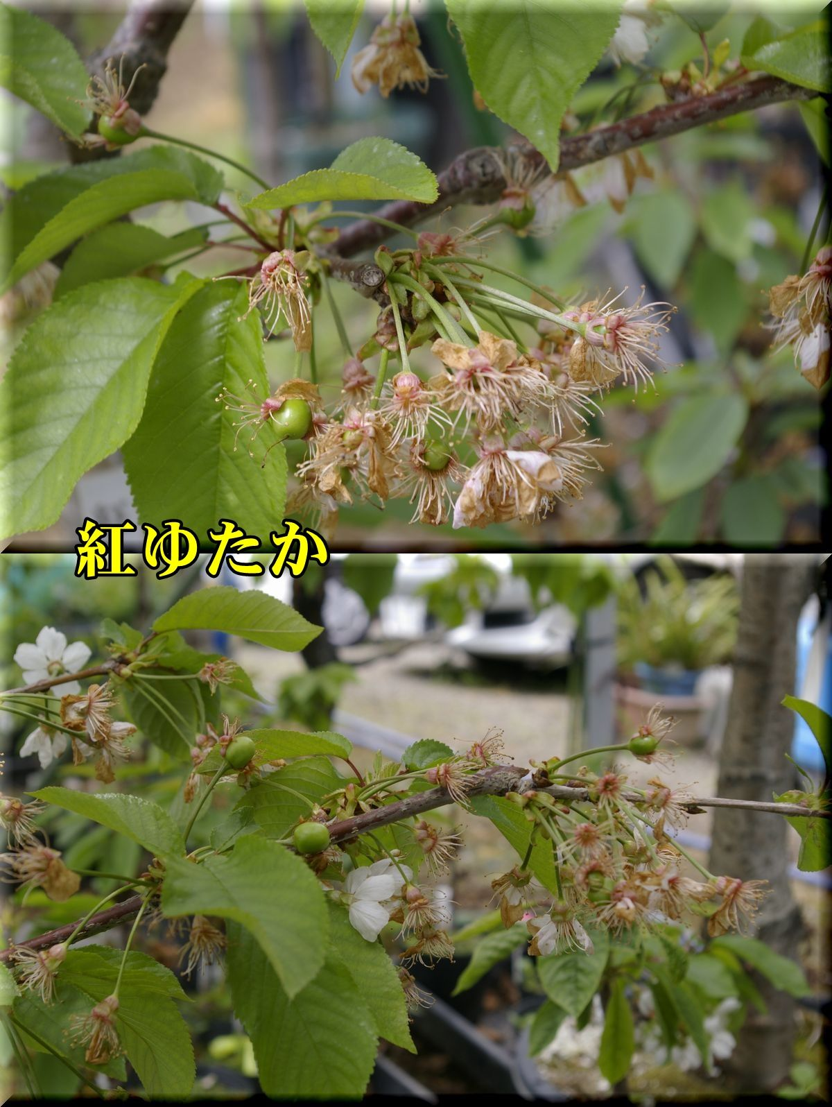 1beniyutaka160423_004.jpg