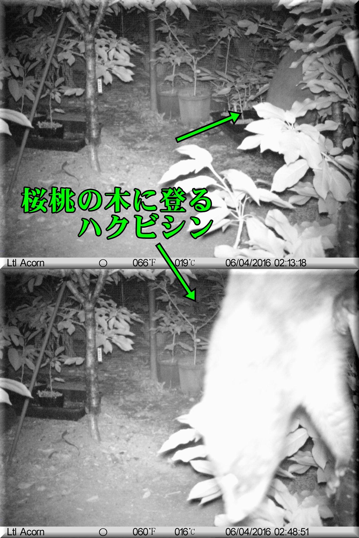 1haku160604_002.jpg
