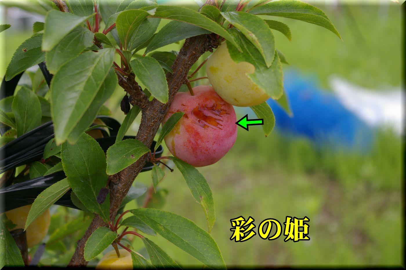 2sainohime160626_008.jpg