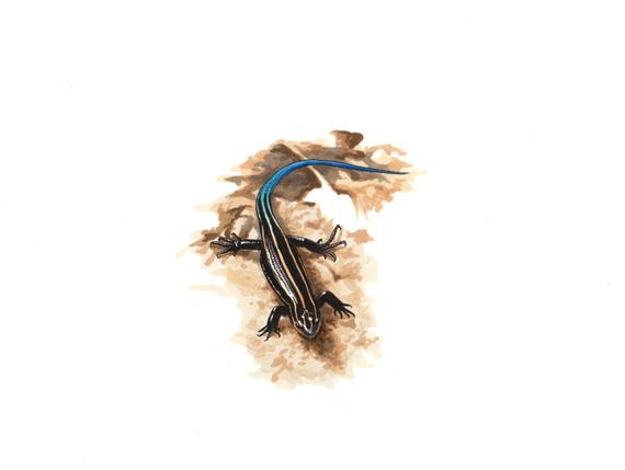 イシガキトカゲ