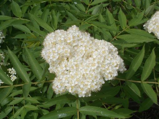 20160531_ナナカマドの花