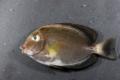 ニセカンランハギ 幼魚