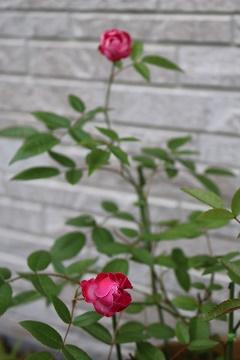バラ H28年5月16日No2