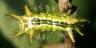 96-クロシタアオイラガ幼虫15mm-2016-08-13舞岡-OMD06558