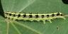 96-フタトガリアオイガ幼虫40mm-2016-09-06舞岡-P1350166
