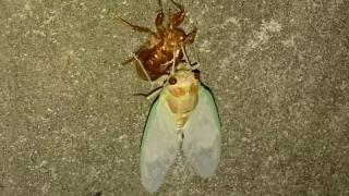 蝉の羽化_003