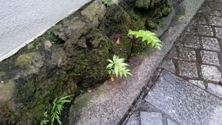 5石壁からのシダ