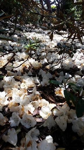 シャクナゲの絨毯